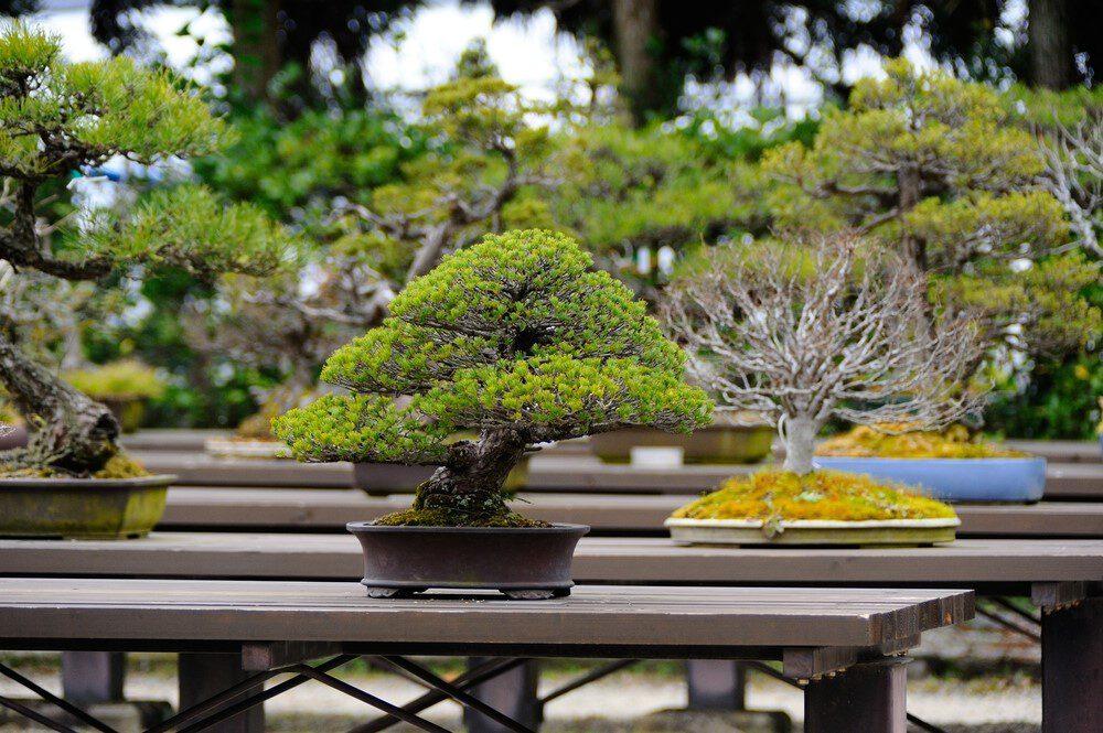 Bonsai Voor Binnen.Bonsai Voor Buiten Pokon Groen Doet Je Goed